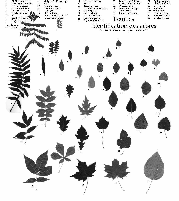 Bien-aimé vocabulaire des feuilles ZL55